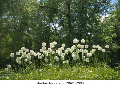 Flowers ornamental white onion allium in the park. Floriculture, gardening, nature theme.