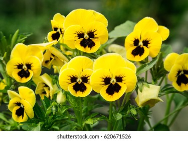 Yellow and violet flowers images stock photos vectors shutterstock flowers pansies bright yellow colors with a dark mid closeup mightylinksfo