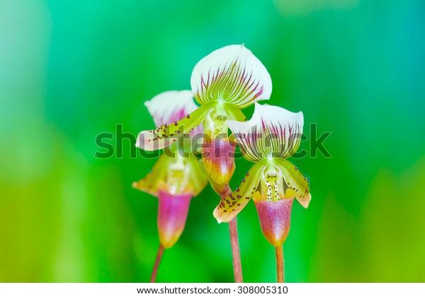 Flowers of Paphiopedilum orchid