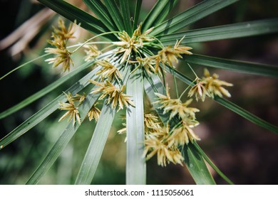 Flowers of papyrus, an acquatic flowering plant, native to Africa