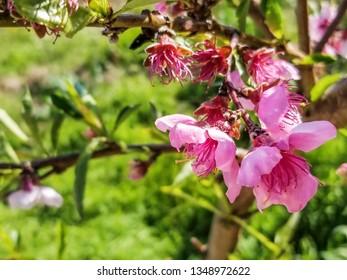 Flowers of peach tree, Prunus persica
