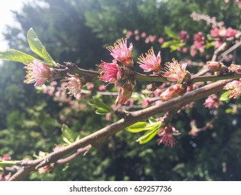 Flowers of peach tree, Prunus persica, on the springtime