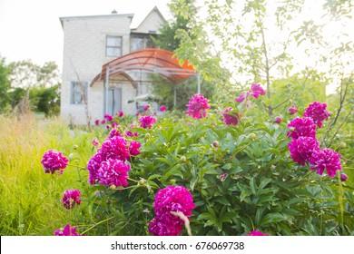 the flowers peonies in the garden