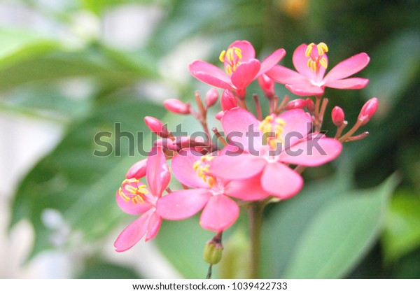 Flowers of Peregrina, Spicy Jatropha, Jatropha integerrima, A plant in the family. Euphorbiaceae.