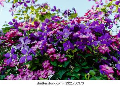 Flowers perennial vines of clematis in the garden. Growing clematis. Blooming clematis.