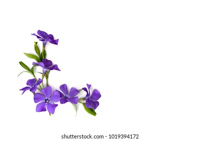 Flowers periwinkle (Vinca minor, common names: lesser periwinkle, dwarf periwinkle, myrtle, creeping myrtle) on a white background with space for text. Top view, flat lay.