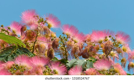 Flowers of Persian silk tree or pink silk tree (Albizia julibrissin) on the blue sky background