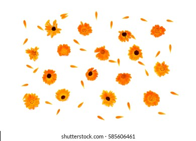 Flowers and petal Calendula (Calendula officinalis, pot marigold, ruddles, garden marigold, English marigold) on a white background. Top view, flat lay. Medicinal herb.