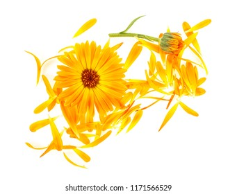 Flowers and petals of Calendula on white background, top view. Medicinal herb.