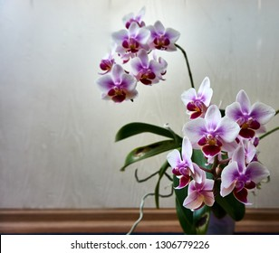 Flowers Phalaenopsis Brother Picot Sweet Mini Orchids. Phalaenopsis, moth of orchids on a blurred background of leaves and petals. Selective focus Great idea for any design.
