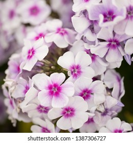 Flowers phlox close-up in the garden