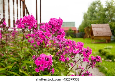 The flowers of Phlox grow in the garden.