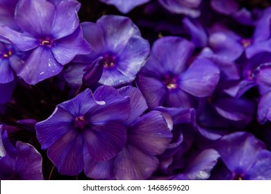 The flowers of Phlox paniculata different varieties close up. Flower background.