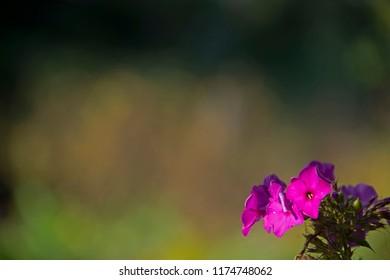 FLOWERS - phloxes