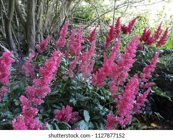 Flowers of Pink Astilbe Japonica (False Spirea),