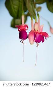 FLOWERS - pink Fuchsia