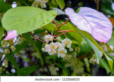 Flowers of pink and green creeper Actinidia (Actinidia kolomikta, Actinidiaceae), commonly known as variegated-leaf hardy kiwi, a species of deciduous woody vine.