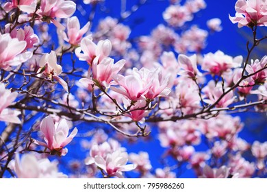 Flowers of pink Magnolia on blue sky background, with shallow depth of field and selective focus on flowers petals. Magnolia flowers in spring with blue sky background and with buds.