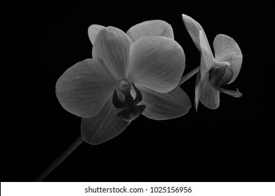 Flowers of a pink orchid isolated on a black background