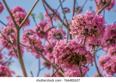 The flowers of pink poui, or called rosy trumpet tree ( Bionomial name: Tabebuia rosea ) and the blue sky background with white clouds