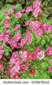 Flowers pink purple petals of the saxifrage plant are drawn to the light in close-up.