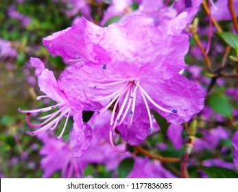 Flowers pink rhododendron closeup. Gardening and floriculture.