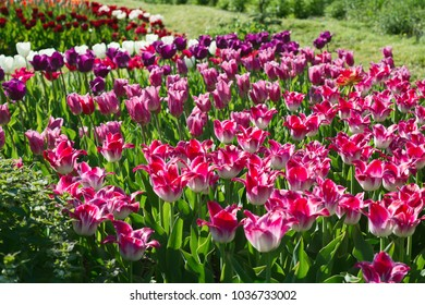 Flowers pink tulips in the garden