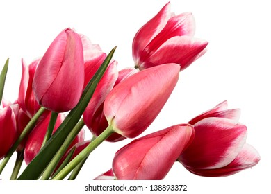 Flowers. Pink tulips on a white background