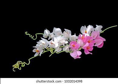 Flowers : Pink and white Mexican Creeper (Antigonon leptopus) isolated on black background.