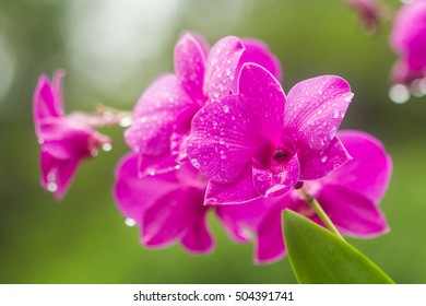 Flowers Pink:Orchid.