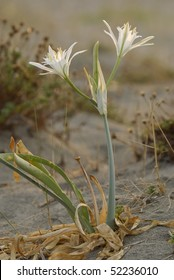 Flowers and plant of sea squill