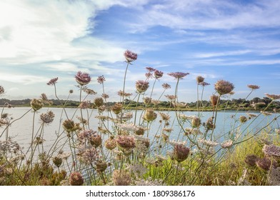 Flowers of the plant Wild Carrot, Daucus carota, in the background of the image the pond of the slatworks of Colonia de Sant Jordi at sunset, on the island of Mallorca, Spain