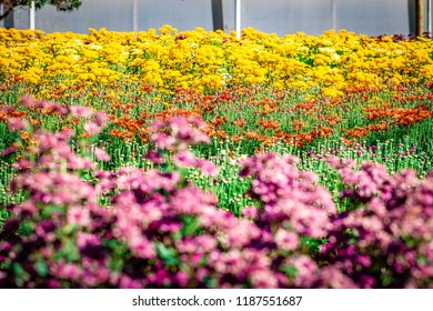 Flowers plantation growing in a farm. Holambra, Sao Paulo State