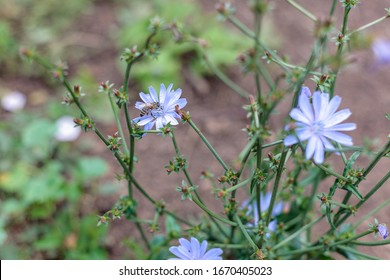 flowers plants chicory, used as a drink, brewed as a substitute for coffee, chicory flower common