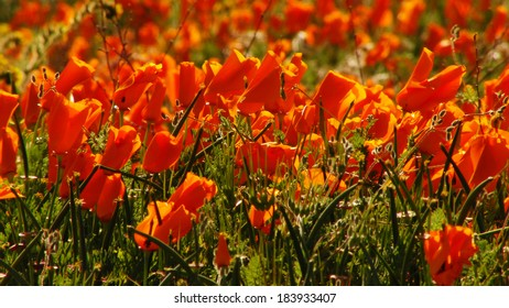 Flowers Poppy in Spring Season California USA