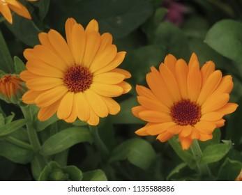 flowers of  pot marigold, Calendula officinalis,