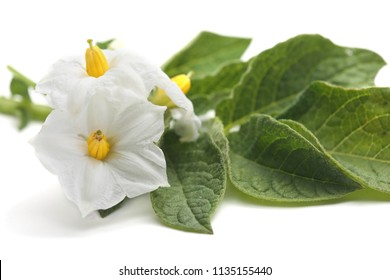 Flowers of potato isolated on white background