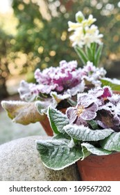 flowers in pots covered with frost