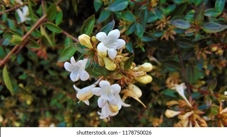 White bell shaped flowers images stock photos vectors shutterstock the flowers are produced in clusters white tinged pink bell shaped mightylinksfo