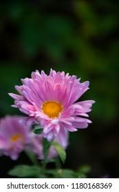 FLOWERS - purple chrysanthemum