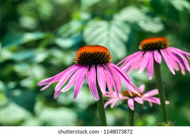 Flowers of purple coneflower (Echinacea purpurea)
