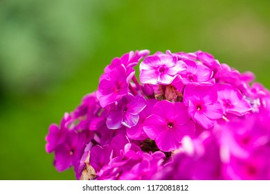 Flowers of Purple or Magenta phlox in the garden (Phlox paniculata). Ornamental flower. Cultivated flower of a phlox closeup. on a natural background. Romantic view on pink blossoms of phlox.