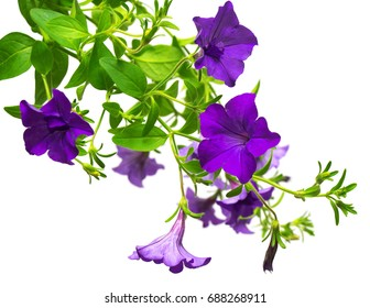 Flowers purple petunias isolated on white background. Flowerbeds. Garden. Flat lay, top view