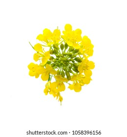 flowers of rapeseed on a white background