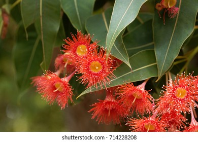 Flowers of a red flowering gum (Corymbia ficifolia)