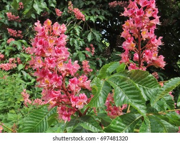 Flowers of Red horse-chestnut (Aesculus x carnea 'Briotii'). Red horse-chestnut is an artificial hybrid between Aesculus pavia (red buckeye) and Aesculus  hippocastanum (horse-chestnut).