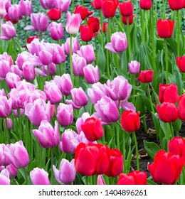 Flowers red and pink tulips flowering on background of flowers. Tulip close up, colorful tulip photo background