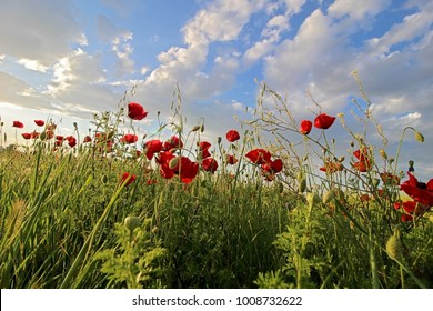 Flowers Red poppies blossom in field and blue sky with clouds