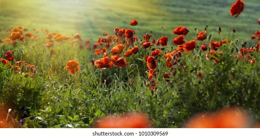Flowers red poppies blossom on wild field beautiful field red poppies with selective focus red