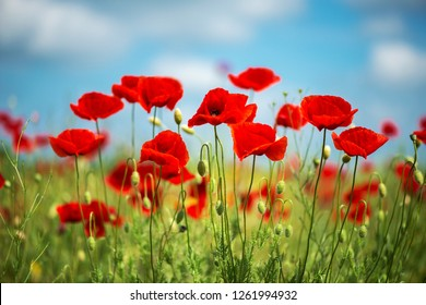 Flowers Red poppies blossom on wild field. Beautiful field red poppies with selective focus. soft light. Natural drugs. Glade of red poppies. Lonely poppy. Soft focus blur